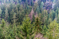 Una foresta nelle montagne nella stagione invernale tarda Immagine Stock