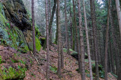 Una foresta nelle montagne nella stagione invernale tarda Immagine Stock Libera da Diritti