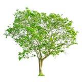 Una forma del árbol y una rama de árbol en el fondo blanco para el aislante el fondo Fotografía de archivo