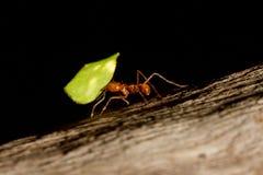 Una formica della taglierina del foglio Fotografia Stock