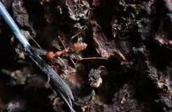 Una formica ha ottenuto una piuma Immagine Stock