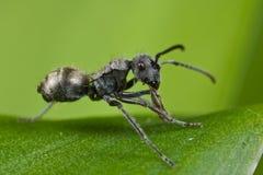 Una formica nera molto piccola Immagini Stock