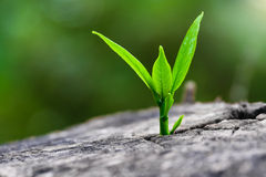 Una forte piantina che cresce nell'albero del tronco come concetto della costruzione di sostegno un il futuro (fuoco su nuova vit Fotografia Stock Libera da Diritti