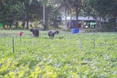 Una foto all'aperto di raccolta locale tailandese dell'agricoltore due potatoyams dolci nelle piante del fagiolo della soia siste Fotografia Stock