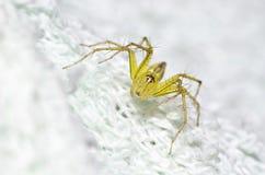 Una foto de la araña del lince que encontré adentro en una esponja. Imagen de archivo
