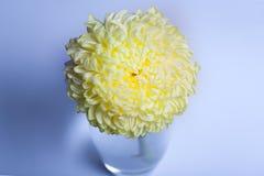 Una foto de la flor amarilla del crisantemo en el florero de cristal en el fondo blanco con la sombra de la pendiente Visión supe Fotografía de archivo