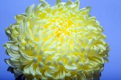 Una foto de la flor amarilla del crisantemo en el florero de cristal en el fondo blanco con la sombra de la pendiente Visión supe Imagenes de archivo