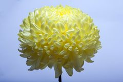 Una foto de la flor amarilla del crisantemo en el florero de cristal en el fondo blanco con la sombra de la pendiente Visión supe Fotos de archivo libres de regalías
