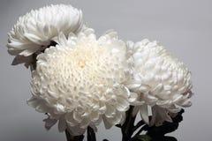 Una foto de la flor blanca del crisantemo en el florero de cristal en el fondo blanco con la sombra de la pendiente Foto de archivo libre de regalías