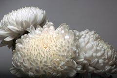 Una foto de la flor blanca del crisantemo en el florero de cristal en el fondo blanco con la sombra de la pendiente Imágenes de archivo libres de regalías
