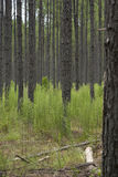 Una foto degli alberi nel legno Immagine Stock Libera da Diritti