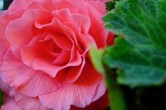 Una foto del primer de una flor enorme y hermosa de la begonia del jardín foto de archivo libre de regalías