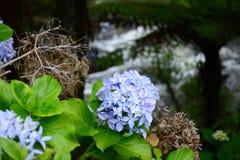 Una foto del primer de la hortensia azul del jardín de la hortensia, o hortensia francesa que crece en un parque foto de archivo