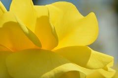 Una foto del primo piano di bella rosa gialla; lampadina che dà seguito trasparente ai petali; qualità quasi astratte di fotografie stock libere da diritti