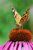 Una foto del primo piano di una farfalla (Venessa Cardui) Immagine Stock Libera da Diritti
