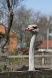 Una foto del retrato de una avestruz Foto de archivo libre de regalías