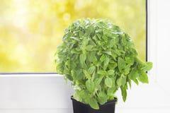 Una foto delle piante fresche del basilico in un vaso da fiori sulla finestra Erba antiossidante della cucina di eco Germogli ita fotografia stock libera da diritti