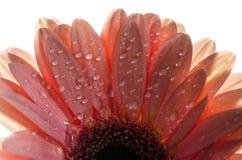 Una foto detallada de una flor del Gerbera Flor del Gerbera de la margarita de Barbeton Foto de archivo