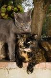Una foto di due gatti nell'amore Immagine Stock