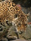 Una foto di un giaguaro maschio Immagine Stock