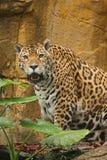 Una foto di un giaguaro maschio Immagine Stock Libera da Diritti