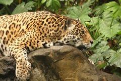 Una foto di un giaguaro maschio fotografie stock libere da diritti
