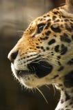 Una foto di un giaguaro maschio Fotografie Stock