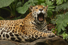 Una foto di un giaguaro maschio fotografia stock libera da diritti