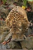 Una foto di un giaguaro maschio Immagini Stock