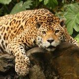 Una foto di un giaguaro maschio fotografia stock