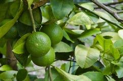 Una foto di un limone Immagini Stock