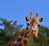 Giraffa di risata Fotografia Stock