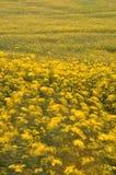 Una foto larga de la exposición de flores amarillas Fotos de archivo libres de regalías