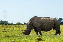Una foto llena del cuerpo de un rinoceronte que era de-de cuernos por el personal del parque nacional de Suráfrica evitar el esca fotografía de archivo