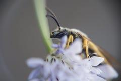 Una foto macra de una abeja Imágenes de archivo libres de regalías