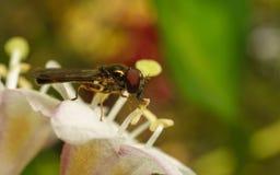 Una foto macra de un Hoverfly en una flor blanca y rosada hermosa Foto de archivo