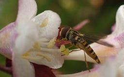 Una foto macra de un Hoverfly en una flor blanca y rosada hermosa Imagen de archivo libre de regalías