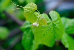 Una fotografía macra de una hoja verde de la vid Imagen de archivo