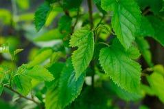 Una fotografía macra del hojas verdes Fotografía de archivo libre de regalías