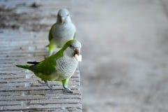 Una fotografia di due parrocchetti che mangiano sulle banche di uno stagno Immagini Stock Libere da Diritti