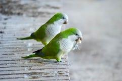 Una fotografia di due parrocchetti che mangiano sulle banche di uno stagno Immagine Stock