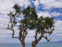 Una fotografia di giovane di olivo con bello fondo immagine stock libera da diritti