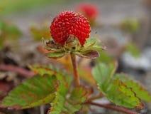 Una fragola rossa su una pianta di fragola di bosco fotografia stock