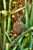Una fruta de la piña miente en el verde tropical fresco Imágenes de archivo libres de regalías