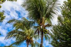 una fruta del coco de la cosecha del jardinero Foto de archivo