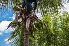 una fruta del coco de la cosecha del jardinero Imagen de archivo libre de regalías