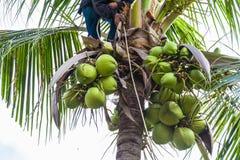una fruta del coco de la cosecha del jardinero Fotografía de archivo
