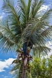 una fruta del coco de la cosecha del jardinero Imágenes de archivo libres de regalías