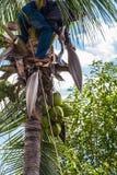 una fruta del coco de la cosecha del jardinero Fotos de archivo