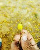 Una fruta del neem fotos de archivo
